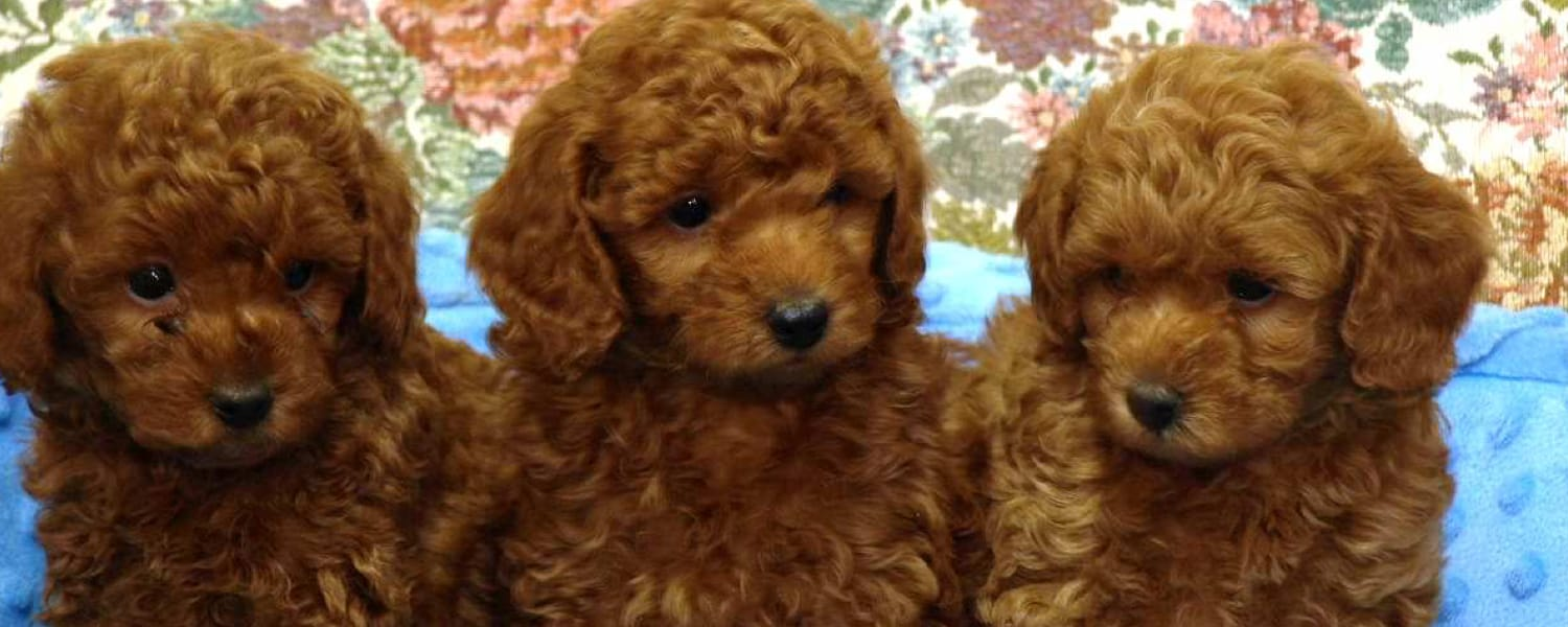 Peggy's Arizona Red Poodles | Peggy's Arizona Red Poodles