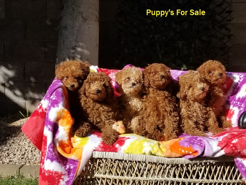 Peggy's Arizona Red Poodles | Puppies for Sale